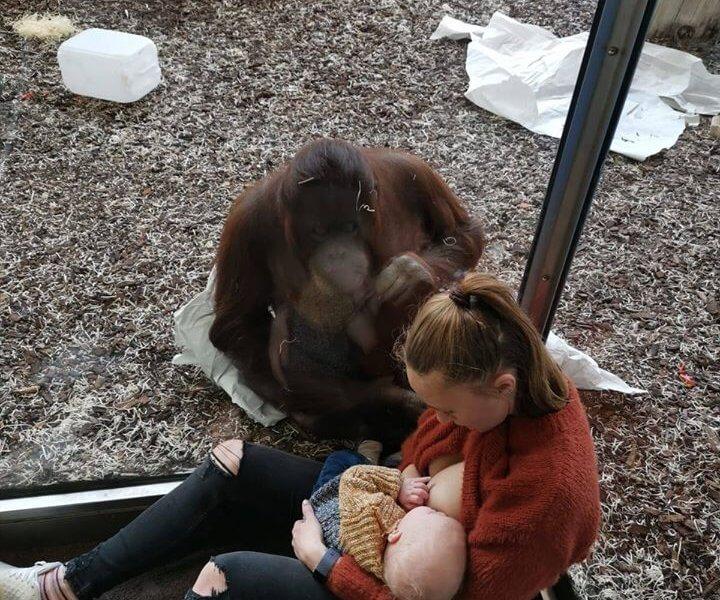 O poveste extraordinară de alăptare. Mama susținută de un urangutan în timp ce își alăptează bebelușul