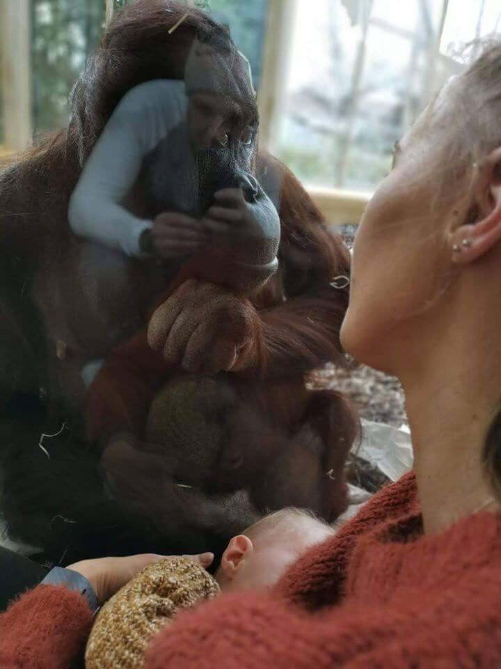 Alaptare gorila